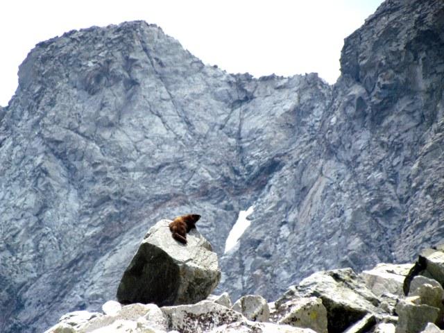 sunning marmot