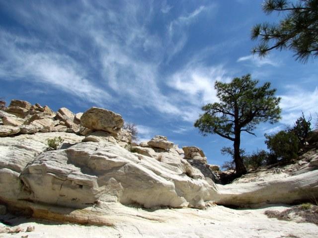 desert Ponderosa Pines