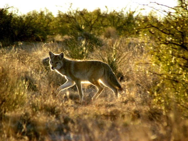 coyote sunset
