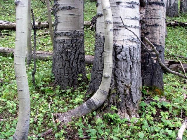 giant aspens