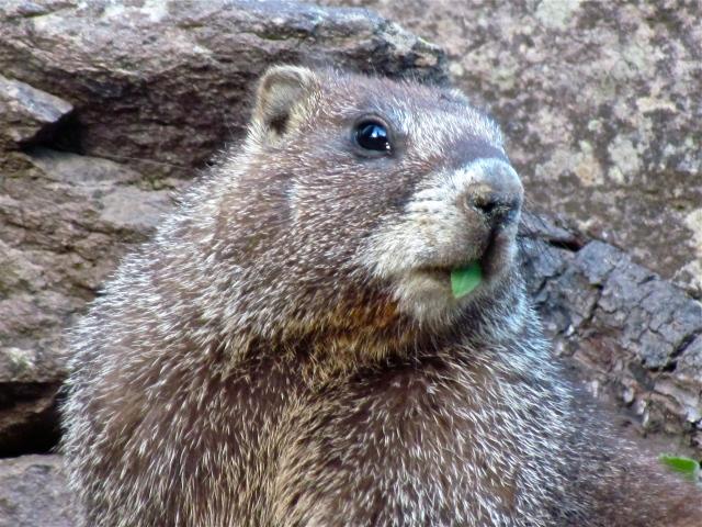 marmot with leaf