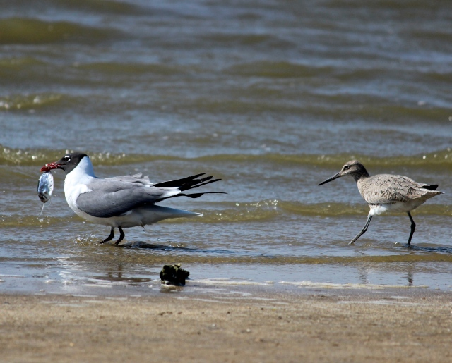 gull and willet