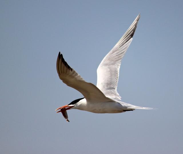tern with minnow