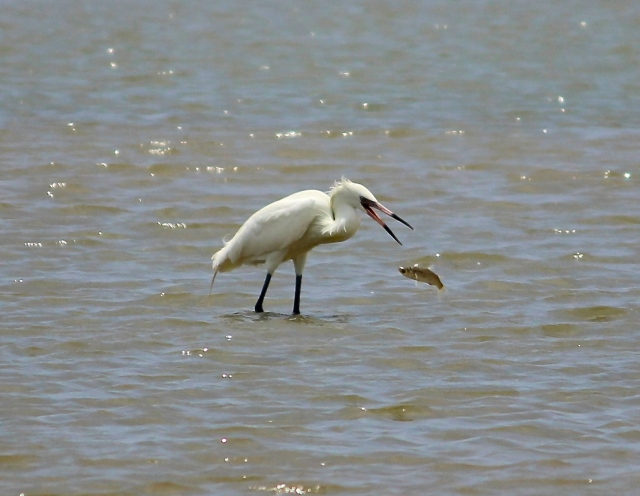 white Reddish Egret