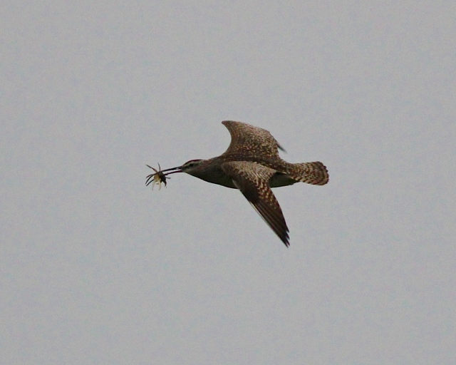 whimbrel with a crab